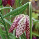 Checkered Lily Fritillaria meleagris