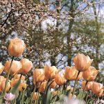 Tulip Apricot Beauty