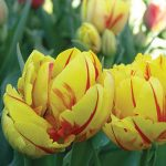 Tulip Monsella Double Flowering