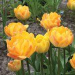 Tulip Peach Melba