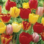 Tulip Perennial Tulip Mix (Darwin)