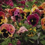 Pansy Sunrise