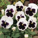 Pansy White Blotch
