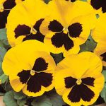 Pansy Yellow Blotch