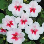 Impatiens Cherry Splash