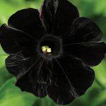 Petunia Black Cat