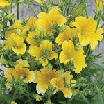 Salpiglossis Royale Yellow