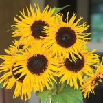 Sunflower Frilly Hybrid