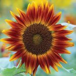 Sunflower Little Becka Hybrid