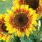 Sunflower Solar Flash Hybrid