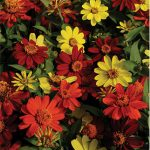 Zinnia Zahara Bonfire Mix