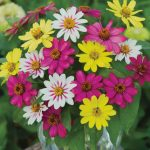 Zinnia Raspberry Lemonade Mix