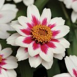 Zinnia Starlight Rose