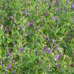Cover Crop Hairy Vetch