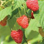 Raspberry Polana PPAF