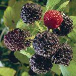 Raspberry Bristol
