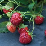 Strawberry Mara Des Bois