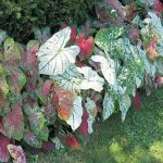 Caladiums Tropical Mix