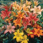 Lilies Perennial Mixed