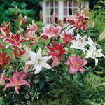 Lilies Fragrant Oriental Mixed