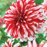 Dahlia Dinnerplate Santa Claus
