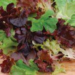 Lettuce Baby Leaf Blend