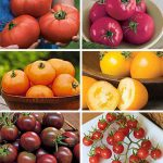 Tomato Collection Best of Show