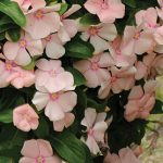 Trailing Vinca Peach