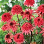 Echinacea Raspberry Truffle PPAF