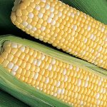 Corn Ambrosia Hybrid