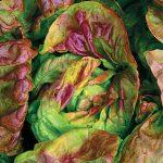 Lettuce Yugoslavian Red