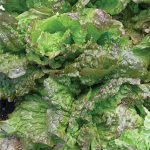 Lettuce Red Grenoble