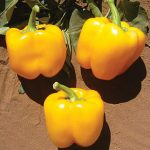 Pepper Sweet Golden California Wonder