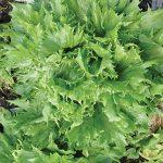 Lettuce Reine des Glaces