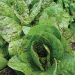 Lettuce Forellenschluss