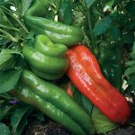 Pepper Sweet Marconi Rosso Organic