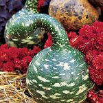 Gourd Speckled Swan