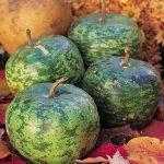 Gourd Apple