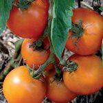 Tomato Jaune Flamme