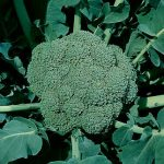 Broccoli Waltham 29
