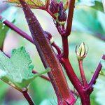 Okra Burgundy