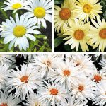 Shasta Daisy Collection