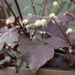 Alternanthera Purple Knight