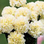 Marigold Snowman Hybrid