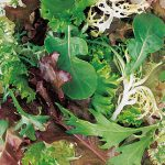 Mesclun Spicy Mix
