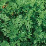 Parsley Italian Flat Leaved Organic
