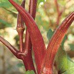 Okra Red Velvet Organic