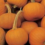 Pumpkin Small Sugar Organic
