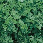 Parsley Italian Dark Green Organic