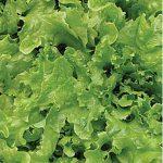 Lettuce Curly Oakleaf Organic